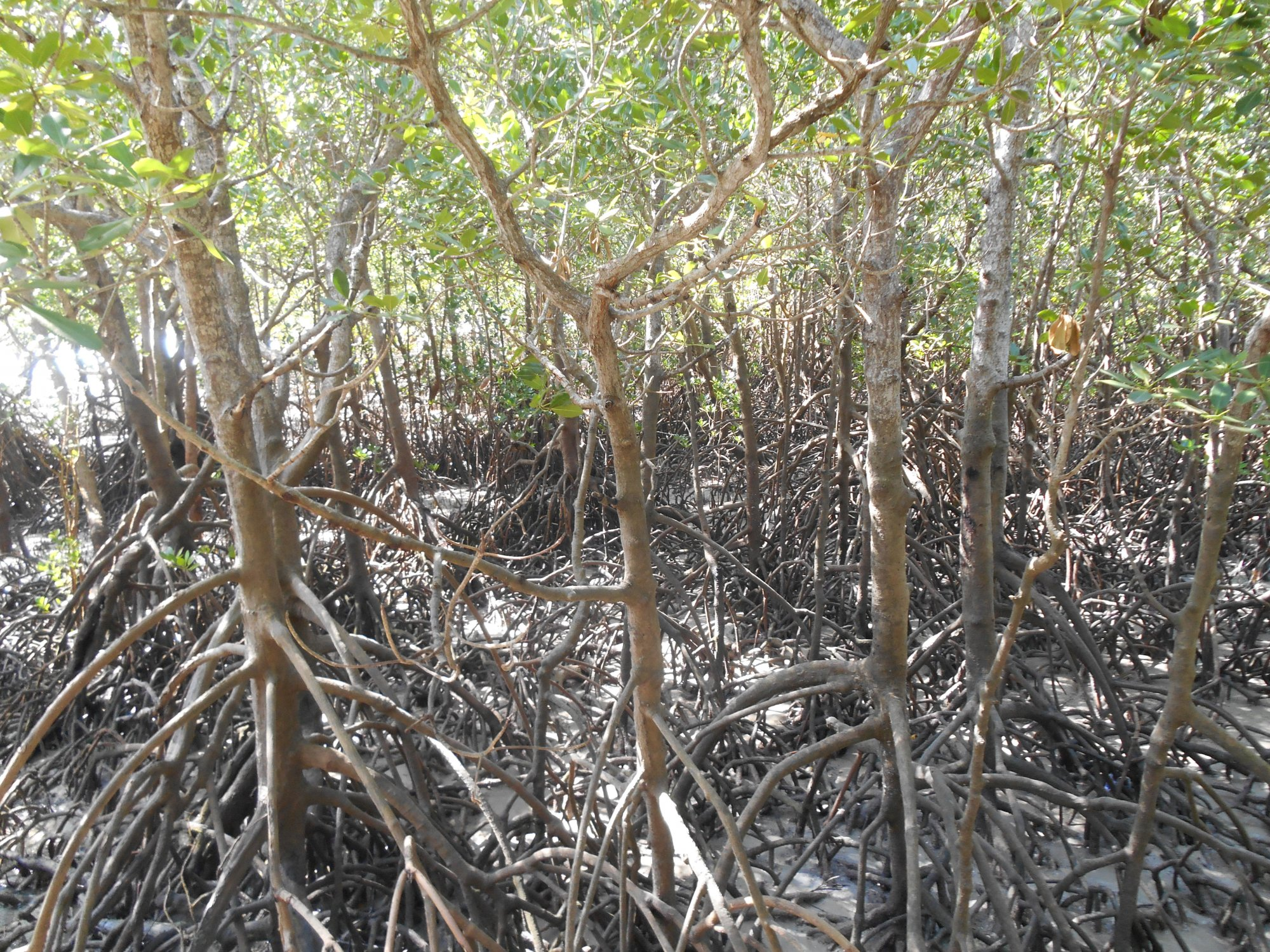 mangroves at east point