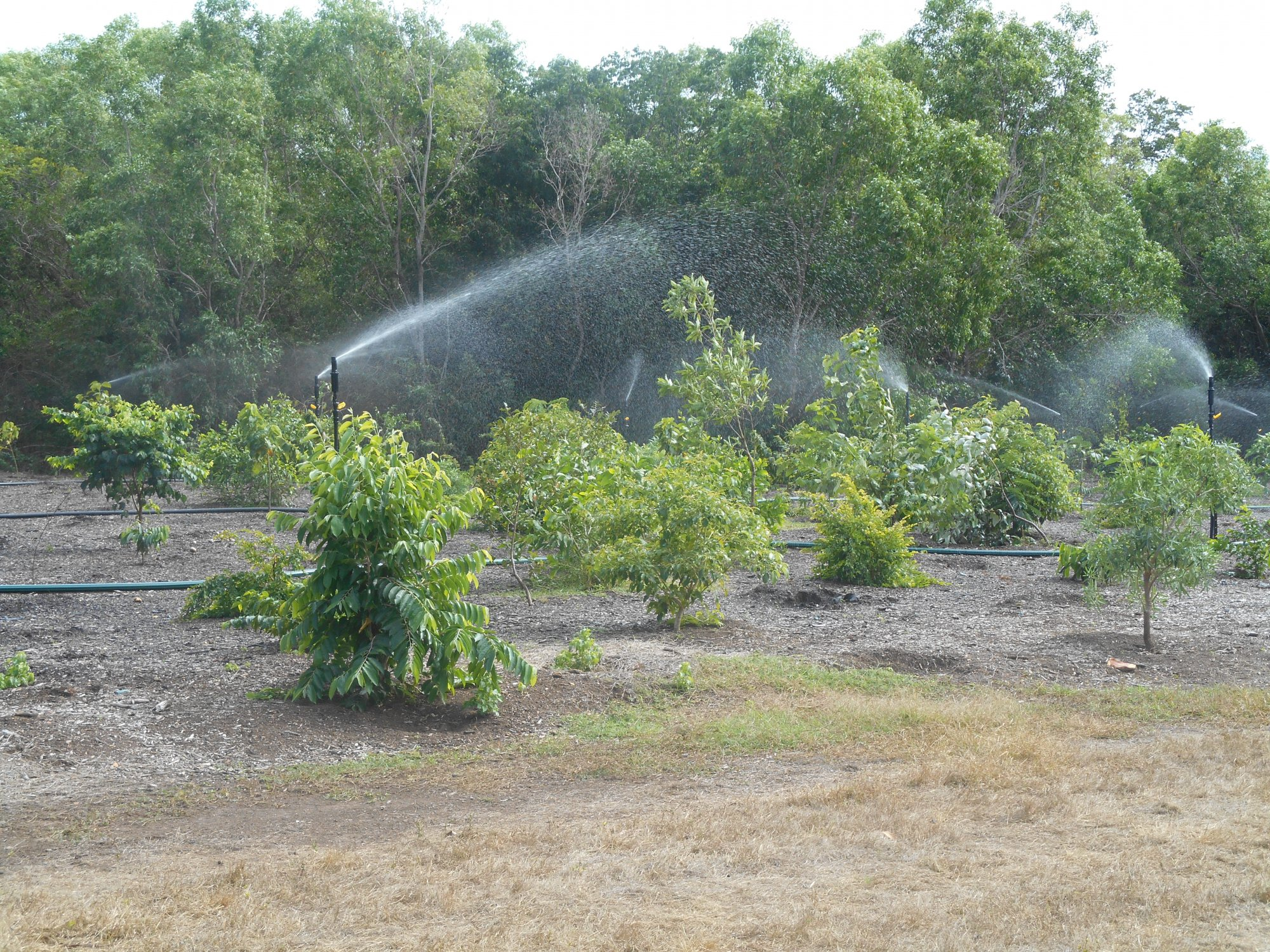 Stage 3 vegitation maturing, revegitation of monsoon rainforest at East Point Reserve