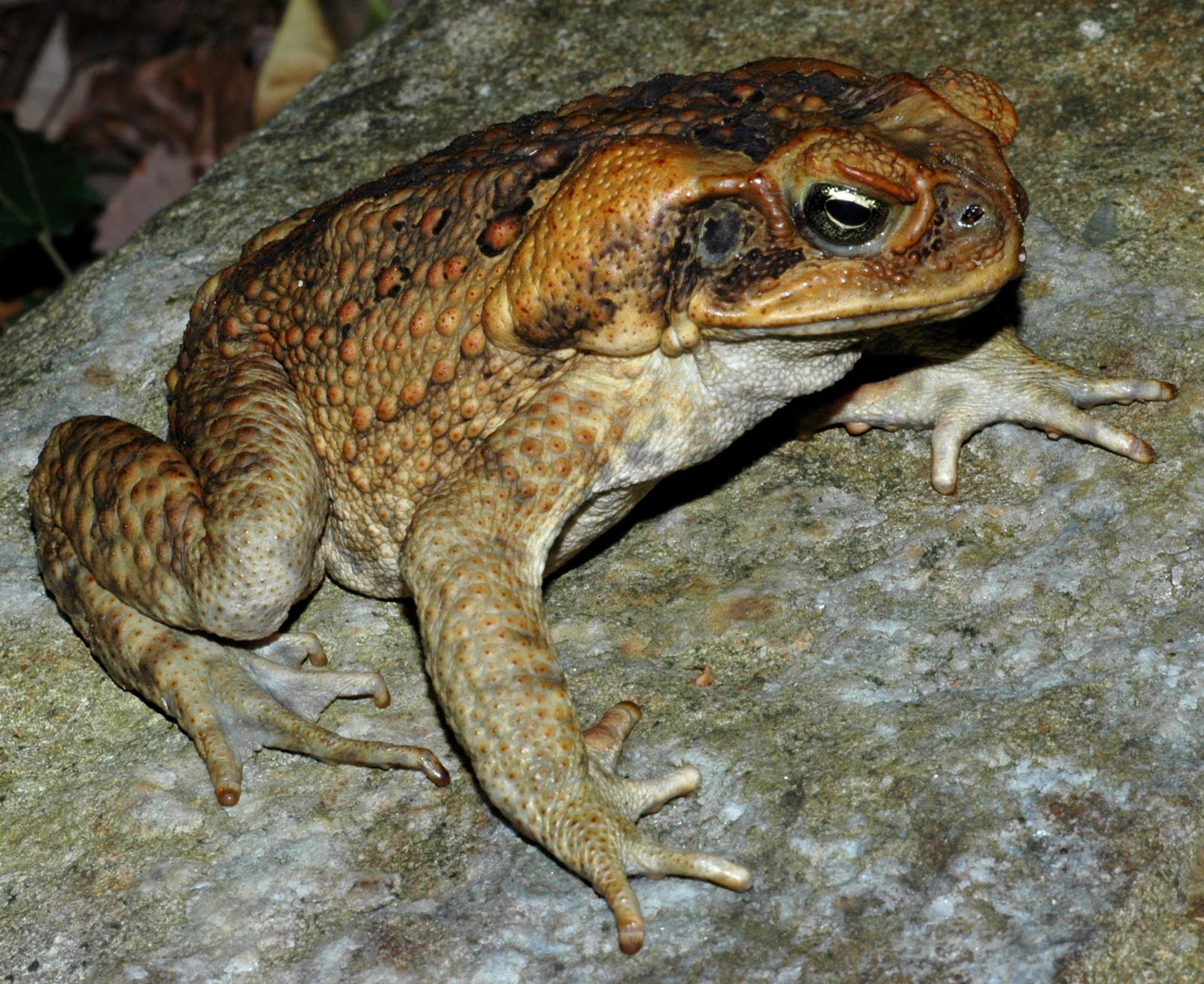 image of cane toad on a rock. Photo by: Springvale National Park