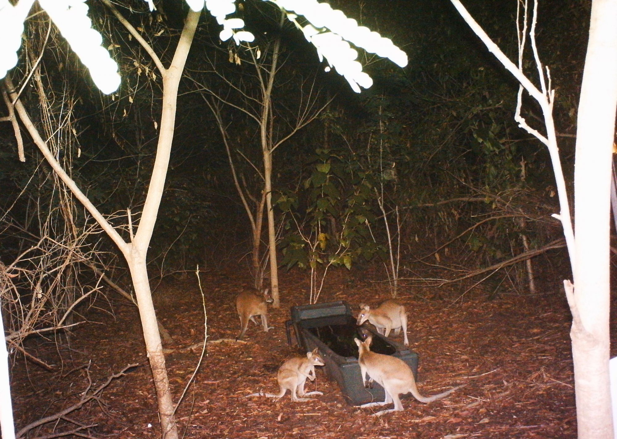 Agile wallabies at east point reserve at night time around a water trough