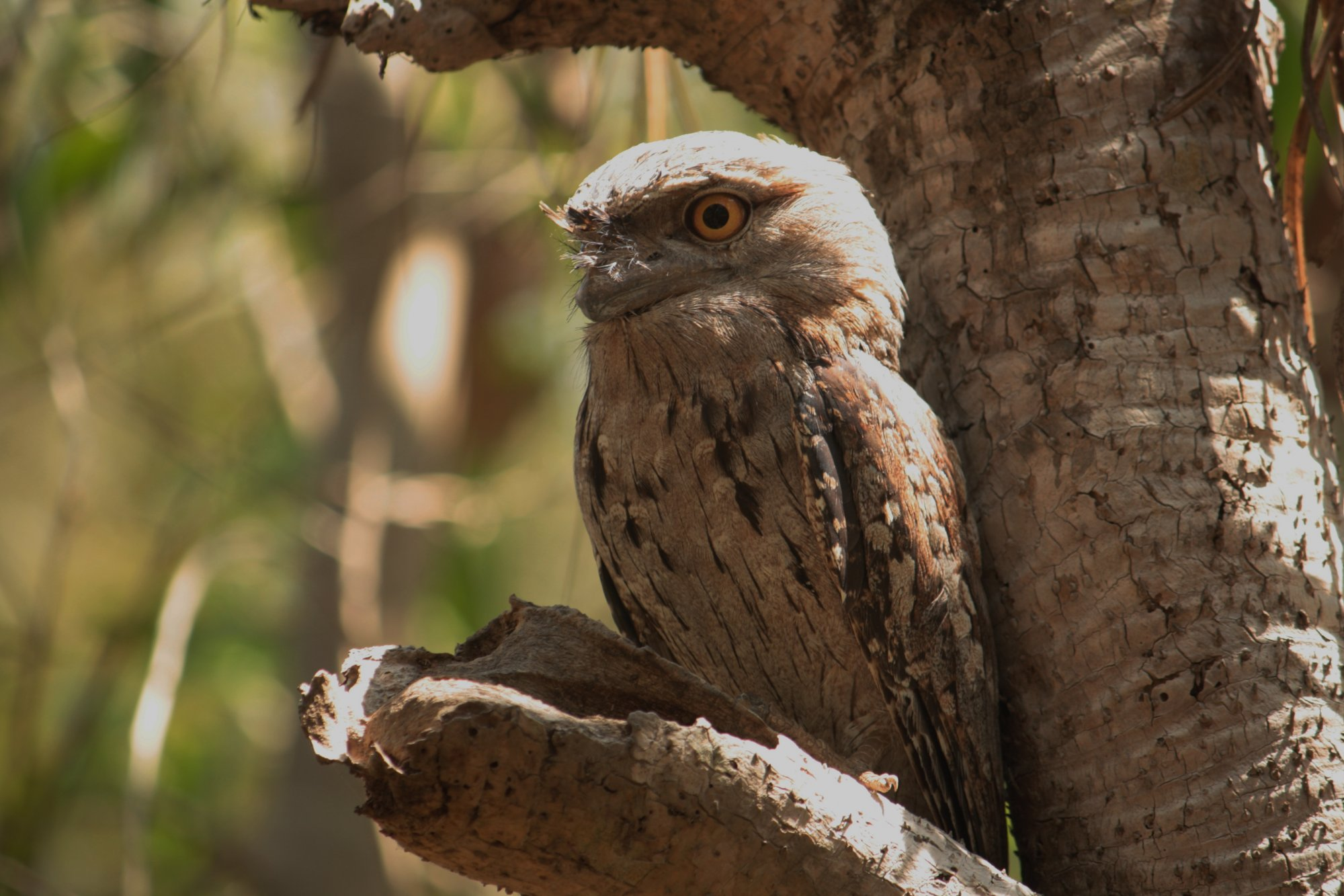 Tawny frogmouth owl found at Eat Point reserve