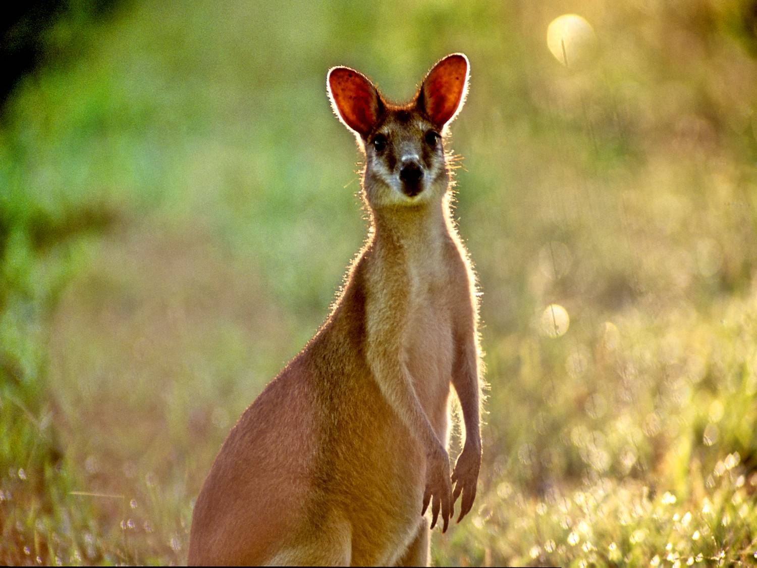image of a wallaby